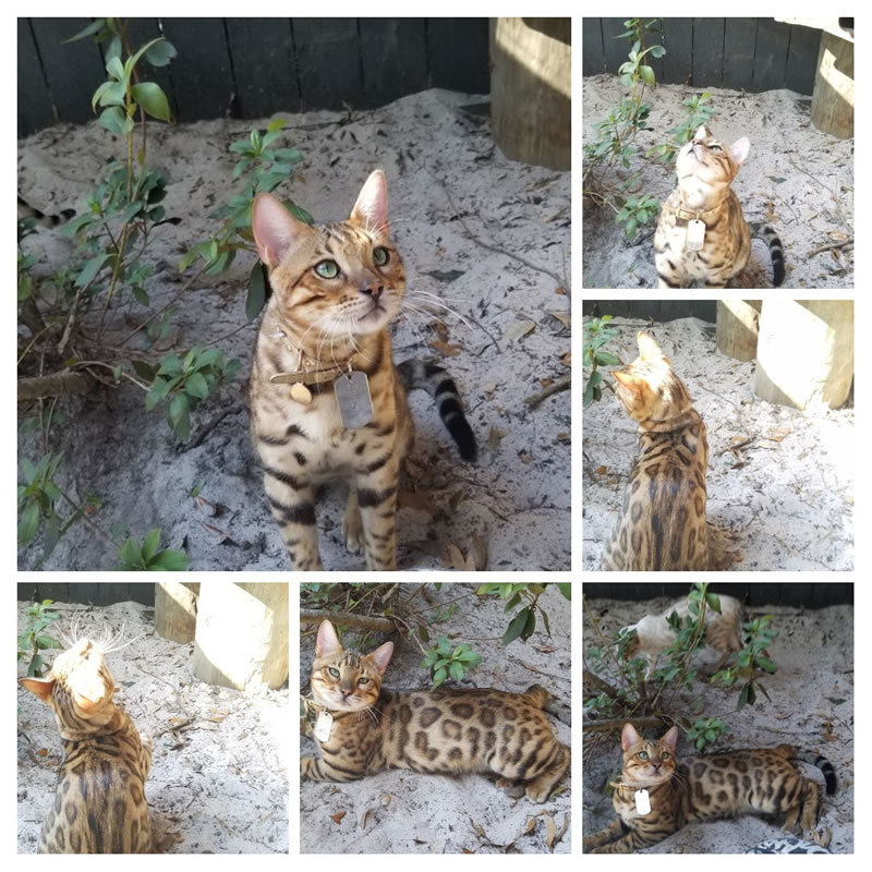 Our Bengal Cat King Ezekiel Montage