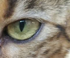 Bengal Cats - Light Hair Around Eyes
