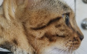 Bengal Cats - Mascara Streaking Lines off Eyes